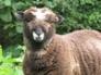 Luna, Ryeland ewe lamb