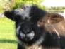 Ryeland tup lamb