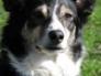 Meg, border collie