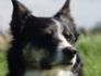 Tess, border collie