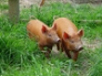 Two Tamworth gilts