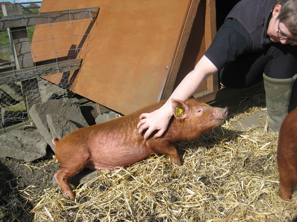 Pig costs - The Accidental Smallholder