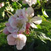 Apple blossom - Sunset