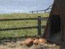 Tamworth weaners sunbathing