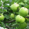 Apples - Dumelows Seedling