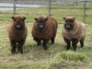 Jura, Juno and Kinx - Rosedean Ryeland ewes