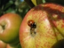 Ladybird on Sunset apple