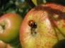 Ladybird on Sunset apple