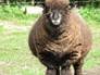Juno, Ryeland ewe