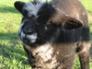 Dickie, Ryeland tup lamb