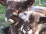 Buddy and Dickie, Ryeland tup lambs