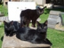 3 black cats: Bertie, Felix & Harry, April 2011