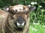 Lucy, Ryeland ewe lamb