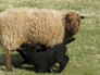 Shetland lamb suckling