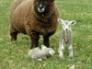 Ryeland ewe and lambs