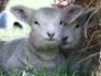 Ryeland lambs