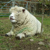 Leo, Ryeland tup, doing his Elvis impression
