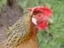 Brown Leghorn hen