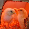 Chicks under heat lamp