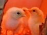 Chicks under heat lamp