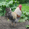 Cream Crested Legbar cockerel