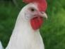 Snowy, White leghorn hen