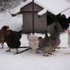 Hens in winter