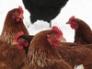 Hens in winter