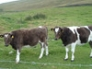 Breeze and Blizzard, Shetland heifers