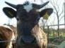 Breeze, Shetland heifer