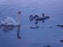 Swans on the River Forth