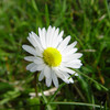 First daisy