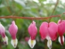Dicentra, bleeding heart