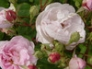 Rose Blush Noisette
