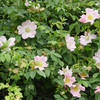 Dog Rose in hedge