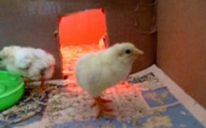 Cute young chicks