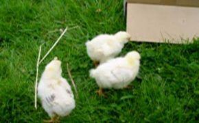 Chicks' first day out