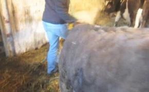 Halter training Shetland Cattle pt2