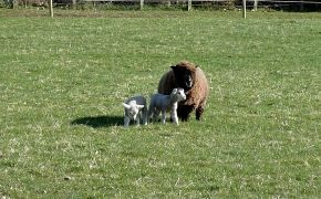 Ewes and lambs grazing