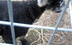 2 day old Ryeland lamb