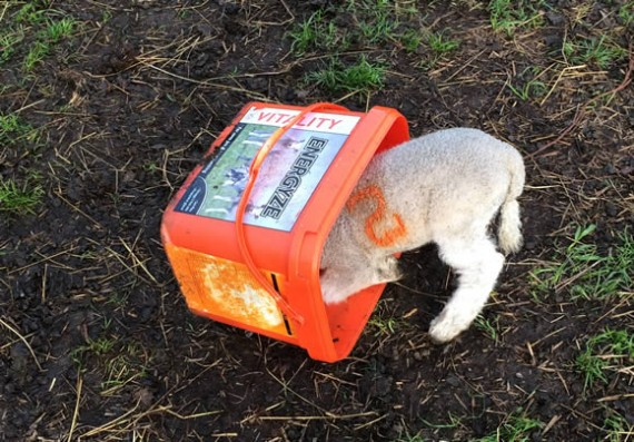 Licky bucket lamb