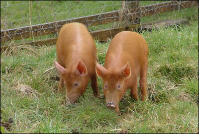 Two new Tamworth boar weaners