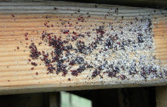 A bad red mite infestation
