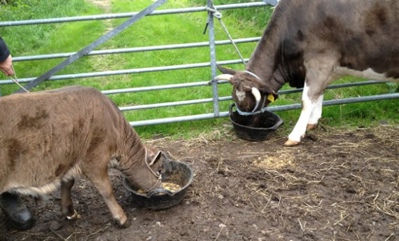 Feeding cattle with trugs
