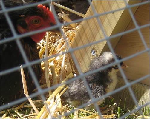 Broody and chick