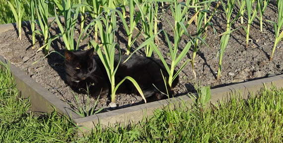 Garlic growing under guard
