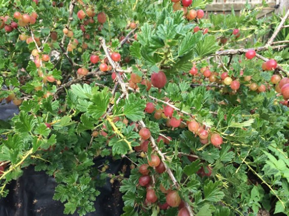 Hinnomaki Red gooseberries