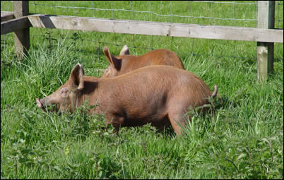 Pigs enjoying the long grass