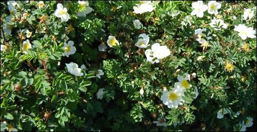 Scotch Rose Hedge blossom