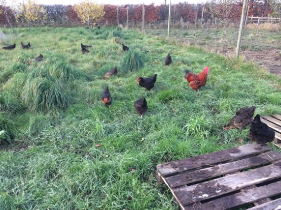 Fresh grass for hens